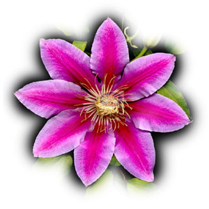 real clematis flower